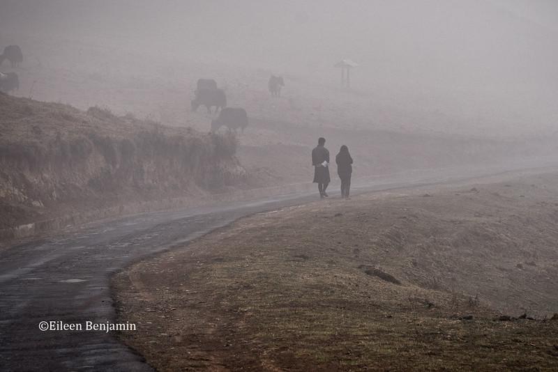 Yaks in fog just below Lo La pass, 11,000'