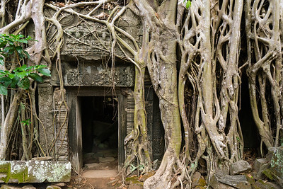 Tree roots draped over Ta Prohm, Angkor Archeological Park