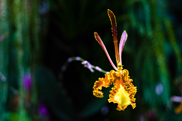 Orchid at the Botanic Gardens