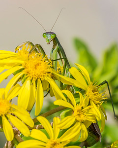 Mantis and Flowers