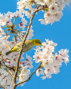 White Eye and Cherry Blossoms