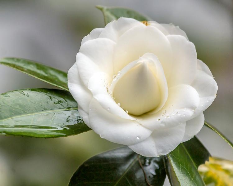 Dewey Camellia