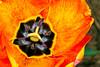 Springtime Tulip