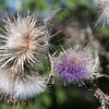 Thistle in autumn
