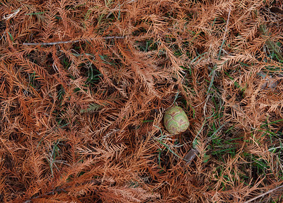 Larch needles & cone