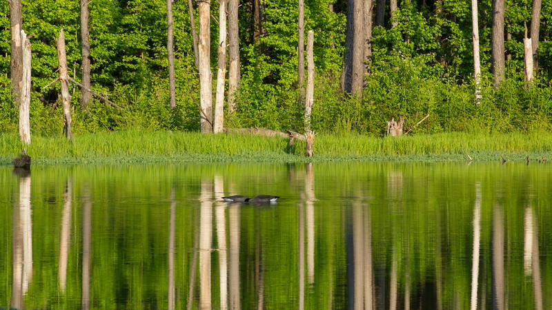 Geese feeding at Sams Lake, Fayette County GA