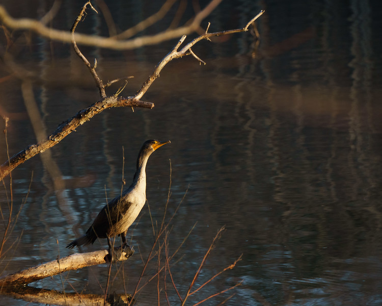 Cormorant, Salem Lake