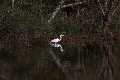 Egret fishing in a Salem Lake backwater