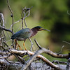 Green heron at Salem Lake