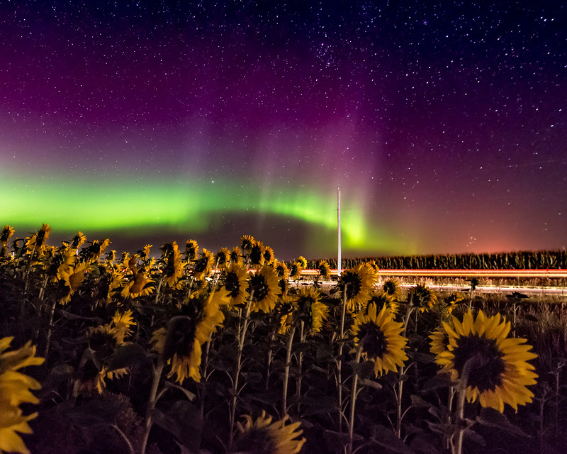 The Sunflowers Watching the Northern Lights