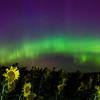 Sunflower Aurora