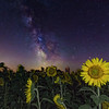 Milky Way over Sunflowers