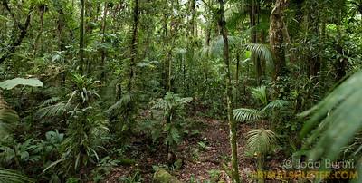 Endangered Euterpes palm trees