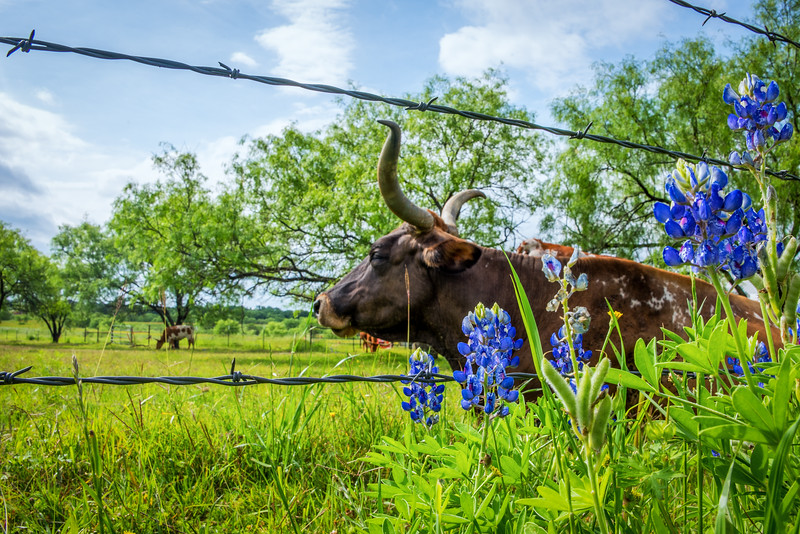 Longhorn and Bluebonnets