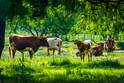 Longhorns in the Glade