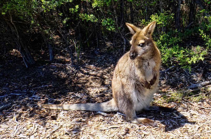 Wallaby in Freycinet