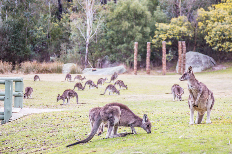Lots of Kangaroos! I saw way more of them today than I did when I was here almost two years ago.