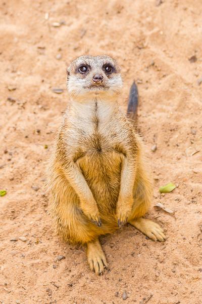 Gotta love the Meerkats!