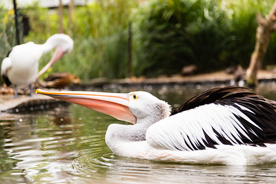 An Australian Pelican swimming in a pond.