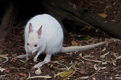A little albino Wallaby