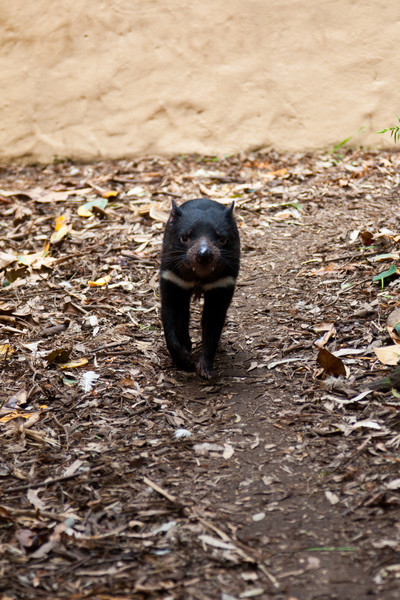 A Tasmanian Devil.  It kept running around the edges of its enclosure.  It moved fairly fast and was hard to photograph.
