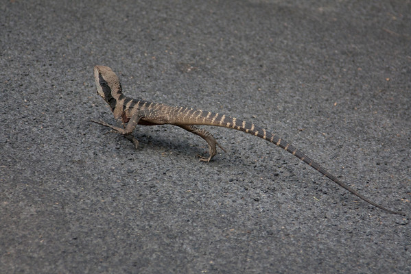 I spotted this lizard on a road near the car park
