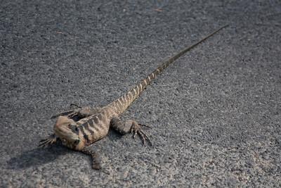 The lizard mostly sat still