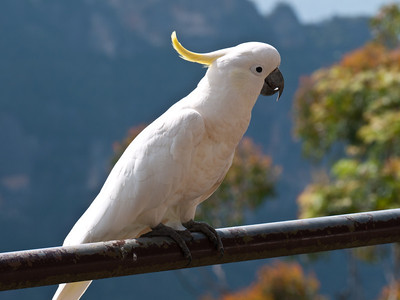 Close up of a Sulphur-crested Cockatoo at the top of the Scenic Railway