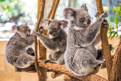 Koalas! I've been to a bunch of zoos and such in Australia but the native animals are still nice to see!
