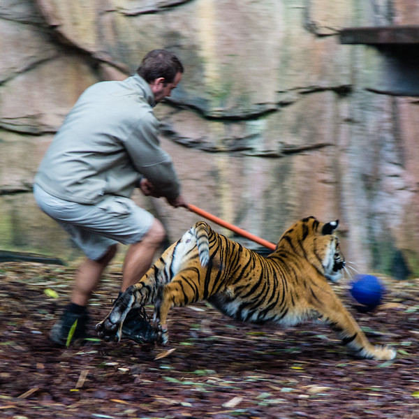 Apparently, playing with your pet tiger is just like playing with your pet kitten. Just with a bigger toy.