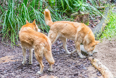 Two Dingoes