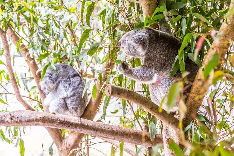 A Koala doing something other than sleeping! The only other thing it does - eats!