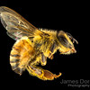 European honeybee (Apis mellifera)