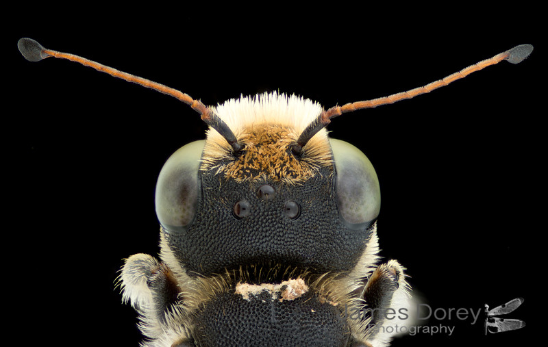 Megachile apicata male