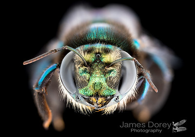 The golden-green carpenter bee (Xylocopa (Lestis) aeratus Female)