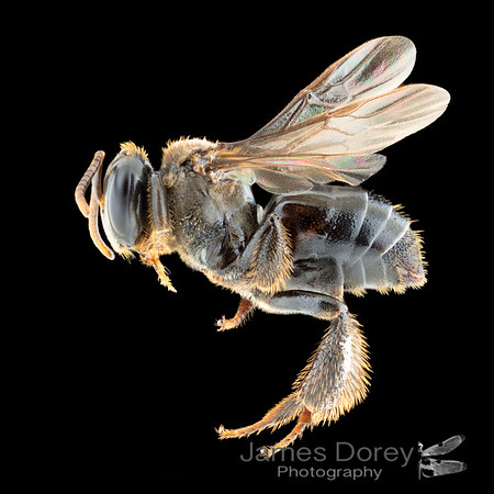 Virgin queen of stingless bees