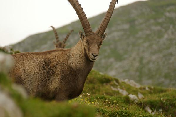 Ibex close to Hochweichsel