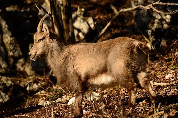 Ibex close to Gaisstein summit