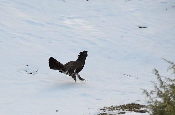 Capercaillie Cock, Tirolerkogel