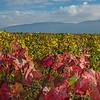 Les vignes de Bernex