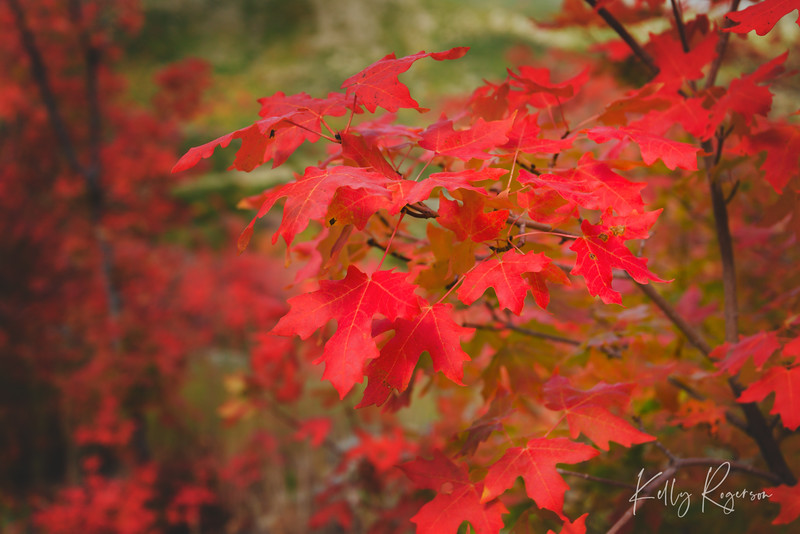 Another fall day, surrounded by red maple leaves.
