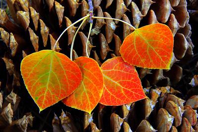 Aspen Leaves & Pine Cone