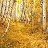 A Golden Trail