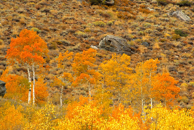 Aspens on Hillside
