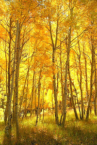 California Gold (Aspens)