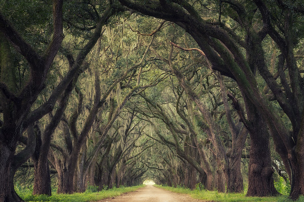 Tunnel of oaks