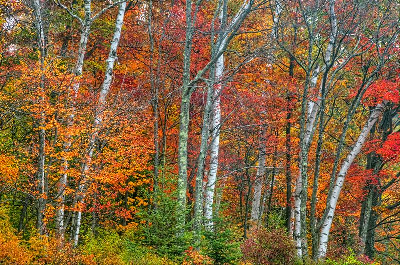 Autumn Birches