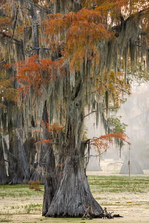 Bald cypress in Texas