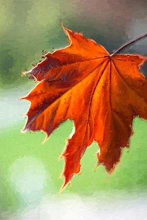 Autumn Maple Leaf 00 | Wall Art Resource