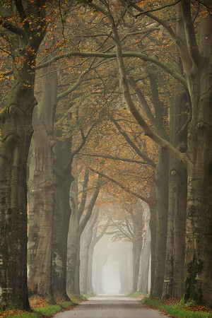Beech lined road
